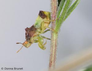 Jagged ambush bug on a plant stem