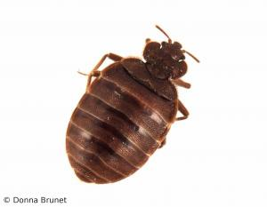 Photo of a common bed bug with a white background.