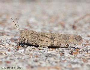 image of a Carolina Grasshopper