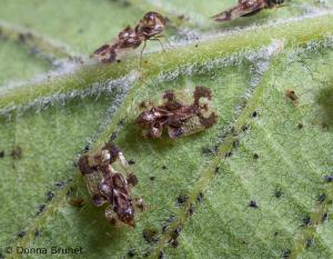 Lace bugs on a leaf