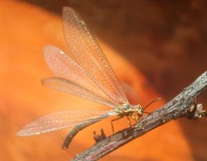 Photo of adult antlion with wings spread