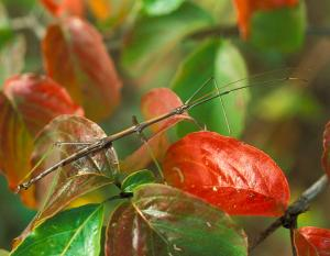 Photo of a northern walkingstick on autumn dogwood leaves