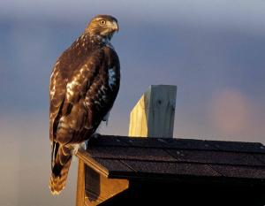 Photo of a red-tailed hawk perched