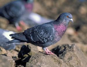 Photo of a gray rock pigeon standing among rocks