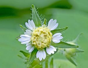 Photo of leaf cup flower