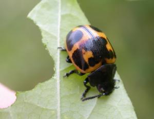 Swamp milkweed leaf beetle on a leaf it has chewed on.
