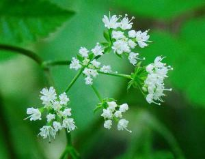 Photo of woolly sweet cicely flower clusters