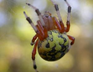 Photo of a marbled orbweaver spider