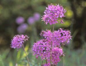 Photo of pink wild onion flower clusters