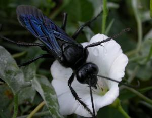 Photo of a great black wasp on a bindweed flower