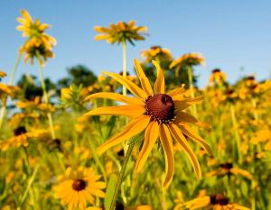 Photo of several black-eyed Susan flowers.