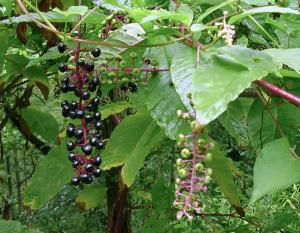 Photo of pokeweed plant with dangling stalks of ripe and unripe berries.