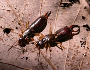 Photo of a female and male European earwig on a dead leaf.