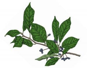 Illustration of black gum flowers and fruits.
