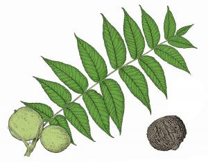 Illustration of black walnut compound leaf and nuts.