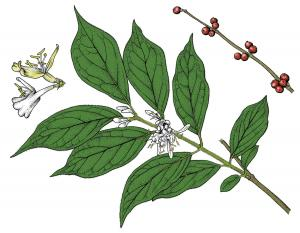 Illustration of bush honeysuckle leaves, flowers, fruit.