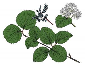 Illustration of arrowwood viburnum leaves, flowers, fruit.