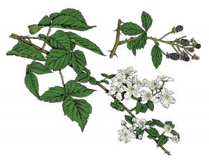 Illustration of common blackberry leaves, flowers, fruits.