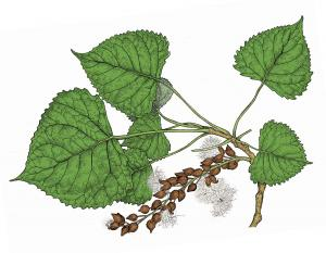 Illustration of cottonwood leaves and fruits.