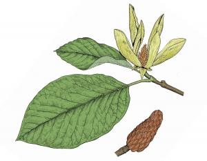 Illustration of cucumber magnolia leaves, flower, fruits.