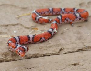 Photo of a northern scarletsnake on a rock surface in Georgia.