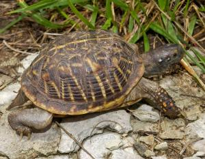 Photo of an ornate box turtle walking.