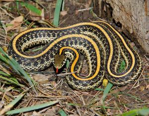 Photo of a plains gartersnake taken in Lakewood, Colorado.