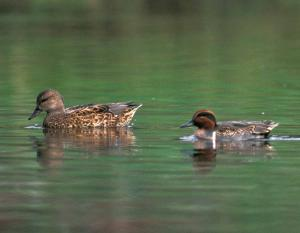 Photo of a green-winged teal pair floating on water.