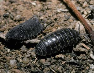 Photo of a sowbug (left) and pillbug (right).