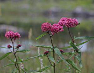 Photo of swamp milkweed, three plants with flower clusters.
