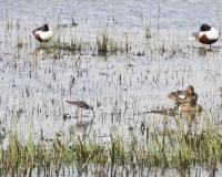 Waterfowl in shallow water and grasses.