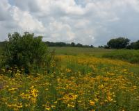field of black-eyed susans at Moniteau Creek CA