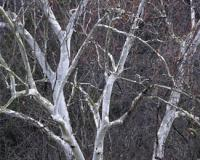 Photo of bare sycamore limbs showing young white bark with grayish patches.