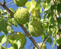 Photo of Osage orange fruits hanging in tree.