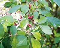 Spicebush showing oval leaves and red berries