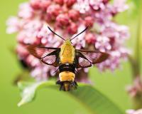 Snowberry clearwing moth hovering at a flower taking nectar
