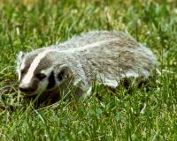 Badger crawls through grass