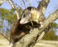 young opossum climbs a tree