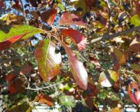 Photo of black gum leaves turning color in fall, with bluish fruits as well.