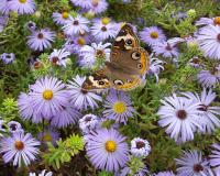 Photo of a common buckeye butterfly nectaring on a cluster of aromatic aster flowers.