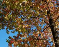 Photo of sweet gum tree, looking upward into branches showing fall color leaves and blue sky