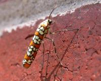 Adult ailanthus webworm moth resting on a brick wall