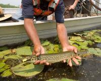 Man in a boat placing an alligator gar into water with lilypads