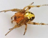 Photo of a female arabesque orbweaver spider