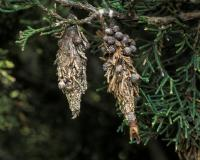 Photo of two bagworm bags on red cedar