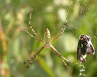 Banded garden spider in web with bound up prey insect next to it
