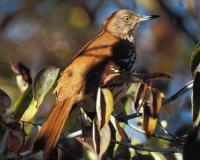 Photo of a brown thrasher lurking in a tree.
