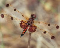 Calico pennant dragonfly perched on a twig