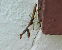Immature Carolina mantis walking on a brick window still