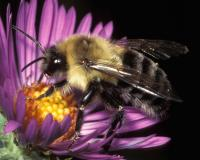 Male common eastern bumble bee on a New World aster